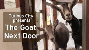 The Goat Next Door: Chicago's Backyard Livestock Laws - YouTube Backyard Livestock Quotes Archives City Farming Salmonella Is No Yolk When Raising Chickens News 2153 Best Show Girls World Images On Pinterest Showing 371 Livestock Farm Animals The Goat Next Door Chicagos Backyard Laws Youtube Pig In Dirty Stock Photos Image 30192453 5 Excellent Reasons To Keep Chickens Grow Network 241 Critters Life Valpo Family May Lose Their After Complaint Free Images Grass Bird White Farm Lawn Rural Food Beak What Raise On Your Homestead Or Cdc Are Giving Wellmeaning Owners
