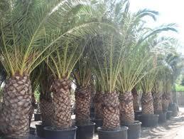 jardins de provaison palmiers