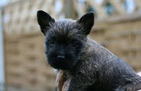 cairn terrier shed hair small breeds that don t shed 17 dogs you ll adore