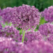 alliums purple sensation bulbs departments diy at b q