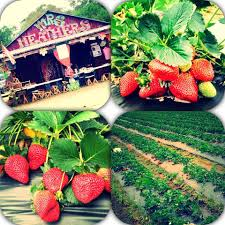 Pumpkin Patch Hammond La by Pick Your Own Strawberries