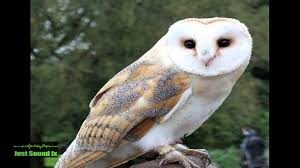 Barn Owl Sound - YouTube Barn Owls On Oak Beam Uk Bird Small Mammal Taxidermist Mike Gadd Owl Family Clipart Night Owl Pencil And In Color Barn Baby By Disneyqueen1 Deviantart All Things Things You Always Wanted To Know About Keeping As Pets Portrait Of A During Falconry Traing Dubai Uae The Centre Staffvolunteers Gallery My Maltese Falcon A Day Falconry Speck The Globe 130109 130110 Wildlife Center Virginia Lydias Video Youtube