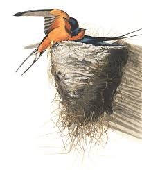 Barn Swallow (TAG: ILLUSTRATION; LINK => HI RES IMAGE DOWNLOAD ... Union Bay Watch Surround Sound The Color Is So Beautiful Birds Pinterest Tree Swallow Easy Tips To Attract Swallows Swifts And Martins Feather Tailed Stories 2017 Barn Swallow Migration Annual Cycle Audubon Guide North American Fledgling Feeding Time Youtube Petting A Baby Hinterland Whos Who Eating Insects Barn Nextdoor Nature