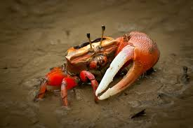 Do Hermit Crabs Shed Their Legs by Keeping Fiddler Crabs As Pets Pet Fiddler Crabs