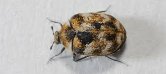 Carpet Weevil Pictures by What Causes Carpet Beetles Abc Blog