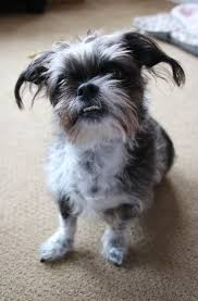 Do Pocket Puggles Shed by 47 Best Poodle Mixes Images On Pinterest Poodle Mix Terrier Mix