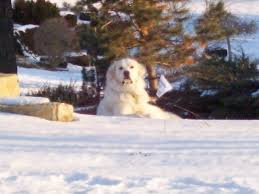 Great Pyrenees Excessive Shedding by Kansas City Northland Scooping We Scoop Get Rid Of The