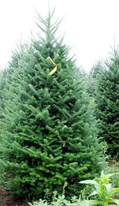 Fraser Christmas Tree Care by Christmas Trees State College Lawn Care