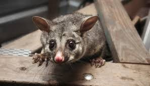 Possum Belly Cabinet History by Predator Free 2050 Goal One Year Old Newshub