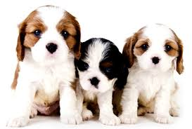 Cute Low Shedding Dogs by Eight Quick Tips On Raising A Puppy