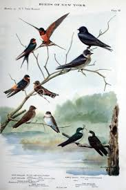 BARN SWALLOW, CLIFF SWALLOW, ROUGH-WINGED SWALLOW, BANK SWALLOW ... Lil Bird By Foxeaf Golondrina Swallow Hirondelle Pinterest Birds Swallows Including Barn And Tree Behavior In The Yard Networks On Wing Hawkmoth Ed Newbold Arriving Critical Breeding Season Hirundo Rustica Perched Edge Of A Dock Mud Hinterland Whos Who North America Online Nature Canada Bank Legally Listed As Threatened The Is Slowly Conquering World Audubon Mdc Discover