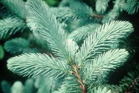 Christmas Tree Types Canada by Tree Varieties