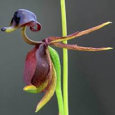 100pcs flying duck orchid seed beautiful flower bonsai home office