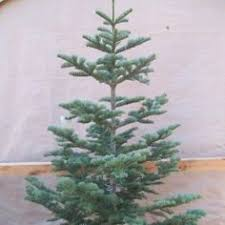 No More Noble Firs For Us Next Year Were Ordering A Silver Tip Fir Christmas TreeAlpine