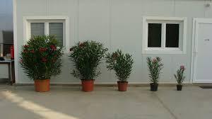 les différentes tailles de lauriers roses à la vente les