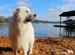 Big Dogs That Dont Shed Badly by Great Pyrenees Myth Or Fact It U0027s Dog Or Nothing