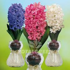 hyacinths on glass planting information totalgreen