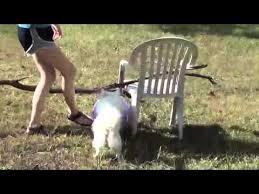 Toy American Eskimo Dog Shedding by American Eskimo Dog American Eskimo Dog Barking American
