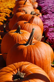 Too Much Pumpkin For Dogs Diarrhea by Healing Properties Of Pumpkins For You And Your Dog Maui Dog