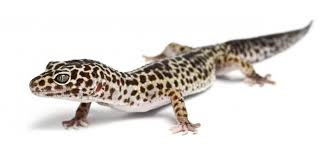 Do Leopard Geckos Shed by How To Take Care Of A Gecko Lovetoknow