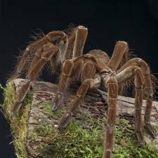 Do Tarantulas Shed Their Legs by Goliath Bird Eating Spider Theraphosa Blondi About Animals