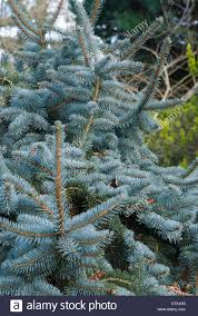Picea Pungens Pendula Weeping Blue Spruce
