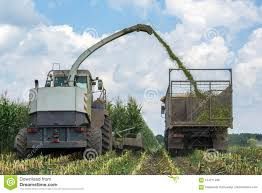 100 Silage Trucks Harvest Of Juicy Corn By A Combine Harvester And