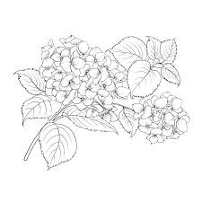 Mop Head Of Hydrangea Flower Isolated Over White Food Coloring Pages Disney Pdf Stock Illustration Oregano Spices And Herbs