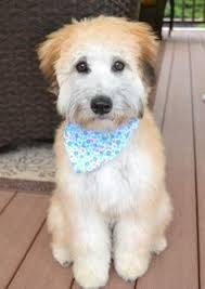 Do Wheaten Terrier Dogs Shed by Wheaten Terriers Have The Most Glorious Coats And Energetic