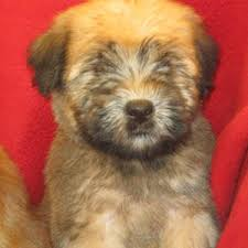 Do Wheaten Terrier Puppies Shed by Soft Coated Wheaten Terrier Puppies For Sale On Long Island