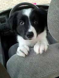 This border collie puppy just told me to adopted with its eye