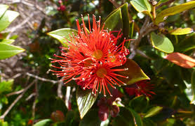 What Kind Of Christmas Tree To Buy by Rata New Zealand Native Plants