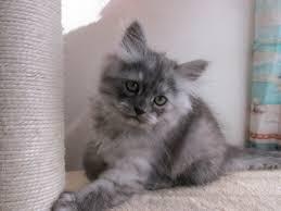 Siberian Cat Hair Shedding by Siberian Cat Cat Breeders Websites Kittysites Com