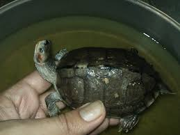 Turtle Shell Not Shedding by Faqs About Turtle Disease Health 3
