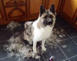 do haired akitas shed dogs heretherebespiders page 2