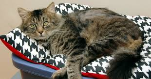 Excessive Hair Shedding In Cats by What Causes Cat Hair Loss Wide Open Pets