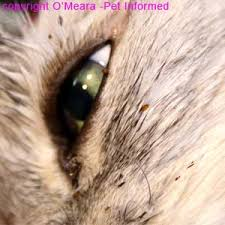 fleas on cats symptoms flea pictures what do fleas and flea infestations look like
