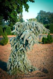 Upright Weeping Blue Spruce Picea Pungens Glauca Falls GFT