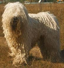 Good Big Non Shedding Dogs by 30 Non Moulting Dogs Best Hypoallergenic Breeds That Don U0027t Shed