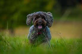 cockapoo dog breed information pictures characteristics facts