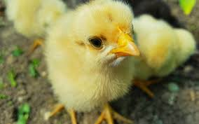 Live Baby Chicks Are Mailed Across The U.S. Every Day In Tightly ... Chickens Make Me Happy 28 Best Broken Arrow Backyard Images On Pinterest Austin The Pros And Cons Of Popsugar Home Coop De Ville In Tx Page 4 Backyard The Doodle House Instagram Photos Videos Tagged With Atxlocal Snap361 Texas Flock Sell Out Cdc Links To Nationwide Salmonella Outbreaks In Your Program Hatches Oct 13 Backyards Modern Landscape Design Ideas Stone Fire Pits Water