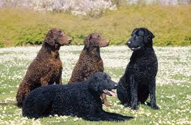 What Dog Sheds The Most by Curly Coated Retriever Breed Information