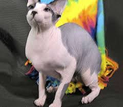 hairless cat price sphynx cat breed canadian hairless cat moon cat wrinkled cat