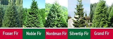 Silvertip Fir Christmas Tree by How To Choose The Perfect Christmas Tree Armstrong Garden