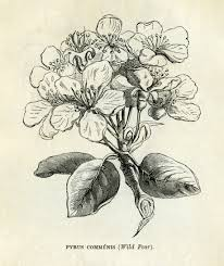 free vintage clip art pear blossom Here is a black and white
