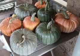 Organic Pumpkin Seeds Australia by Pumpkin Harvest The Greening Of Gavin