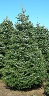Abies Bornmuelleriana Turkish Fir Christmas Trees