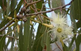 eukalyptus geliebt koalas und gesund für menschen