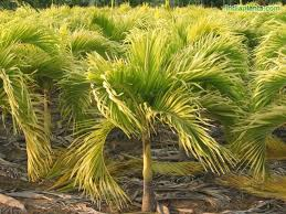 golden palm in pots indiaplants info plants garden accessories and more