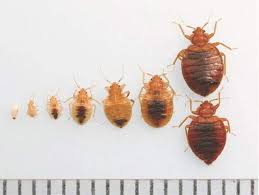 Bed bugs — ExCimex